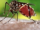 Dealing with dengue the natural way