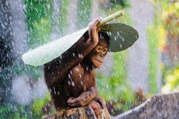 orangutan-4023x2656-bali-rain-monkey-2015-sony-world-photography-6150