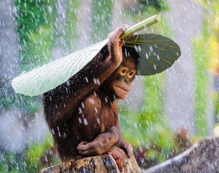 orangutan-4023x2656-bali-rain-monkey-2015-sony-world-photography-6150