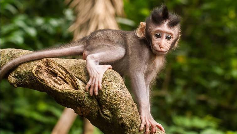 Baby Monkey Ubud Xmas